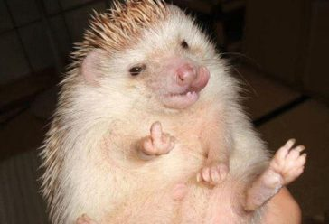 First There Were Hedgehog HOARDERS…. Now enter hedgehog FRAUDSTERS!!